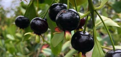 hieu-qua-kinh-te-khi-trong-cay-cherry-brazil